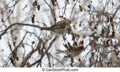 Redpoll Carduelis cabaret in winter forage seeds birch