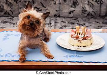 Yorkshire terrier birthdays - Old Yorkshire terrier...