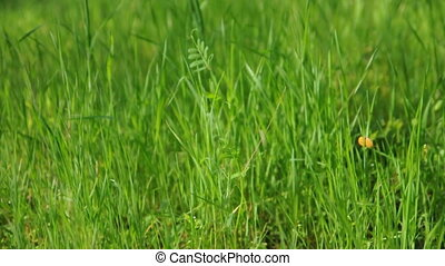 A close up of tall green grass moving in the breeze