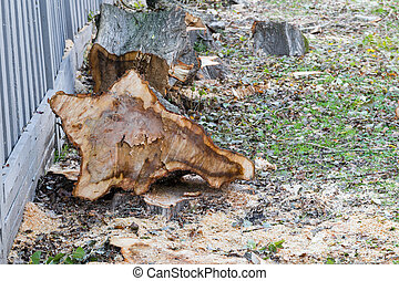 Cuted fallen spruce on the ground