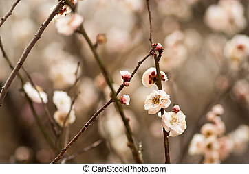 white Japanese plum flower - this photo is taken in Nagoya