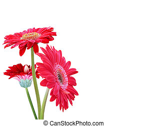 Gerber flowers isolated on a white background