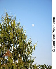 Eucalyptus Tree and blue sky