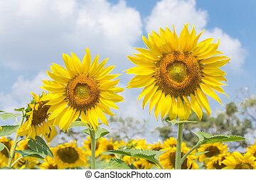 sun flower - Sun flower fields