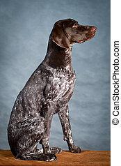 Kurzhaar Dog - German shorthaired pointer dog