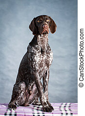 Kurzhaar Dog - German shorthaired pointer dog