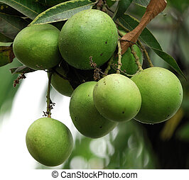 Mangoes - Fresh green mangoes hanging on the tree