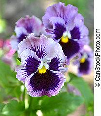violets flowers pansies