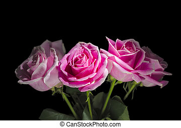 Four Long-stem Roses - Pink long stem roses isolated on a...