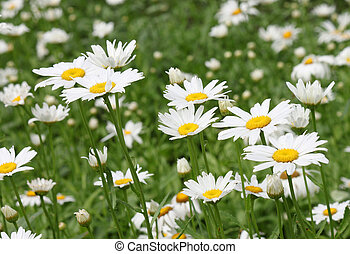 ox-eye daisies - flowerbed with ox-eye daisies