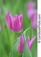 Tulpen - tulpen, tulpe, tulpenwiese, blume, blumen, pink,...