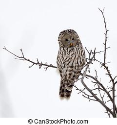 Ural owl in natural habitat (strix uralensis) in winter