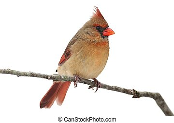 Cardinal In Snow on White - Female Northern Cardinal...