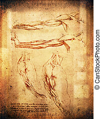 arms - leonardo da vinci style arms illustration