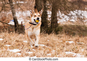 Mutt of Labrador and German Shepherd with his toy