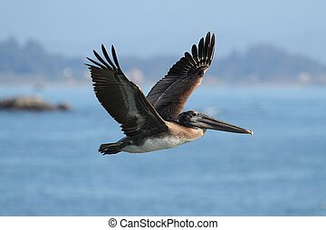 Brown Pelican In Flight - Brown Pelican (Pelecanus...