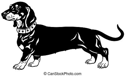 dachshund black white - dog smooth-haired dachshund breed,...