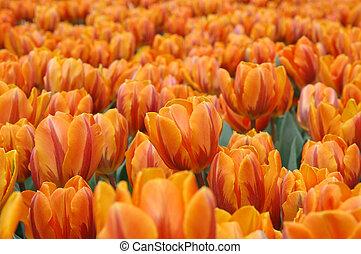 Orange tulips