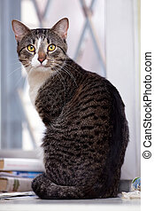 Gray yellow-eyed cat Striped cat Striped not purebred kitten...