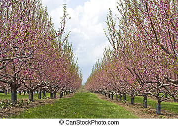 peach orchard in bloom - a peach orchard with the trees...