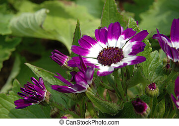 Purple-white, senecio, cineraria