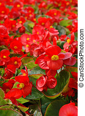 Red begonia - Close up of red bengonia