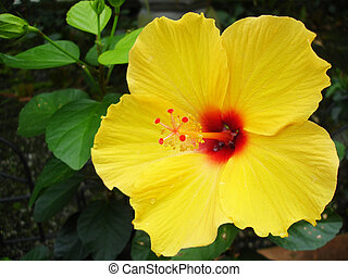 Honolulu Hibiscus - Yellow and red hibiscus