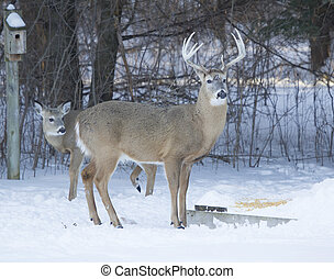 Big Ten Point buck and Doe eating corn - A huge Whitetail...