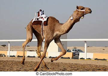 Traditional camel race in Doha, Qatar, Middle East