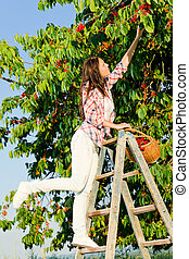 Cherry tree harvest summer woman climb ladder - Cherry tree...