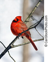 Cardinal Looks Your Way - A red male northern cardinal...