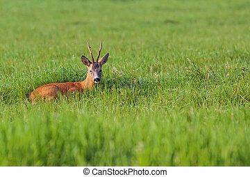 Buck deer resting in a clearing, in the wild