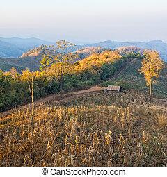 Terrace corn fields in thailand
