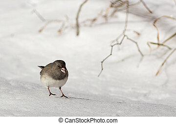 Dark-eyed Junco on Snow - A tiny dark-eyed junco bird...