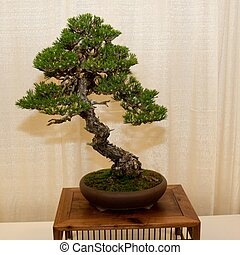 Bonsai is the art of aesthetic miniaturization of trees, or...