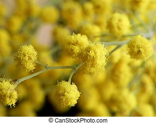 Twig of Mimosa - Macro shot of Mimosa flower twig with...
