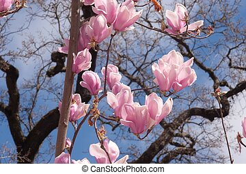 Magnolia is a large genus of about 210 flowering plant...