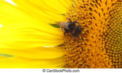 sunflower with a bee - some bee on a sunflower