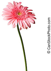 pink daisy isolated on a pure white background