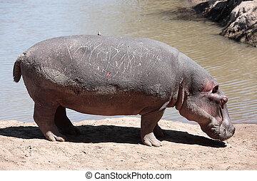 Hippopotamus Masai Mara Reserve Kenya Africa - Hippopotamus...