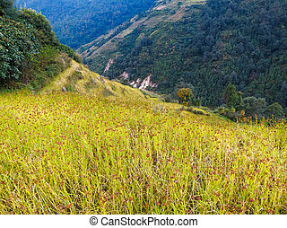 Black millet field in Nepal