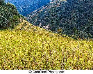 Black millet field in Nepal
