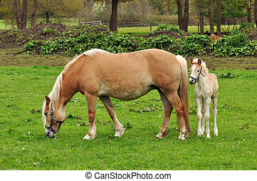 Sheltered - A Haflinger mare and foal