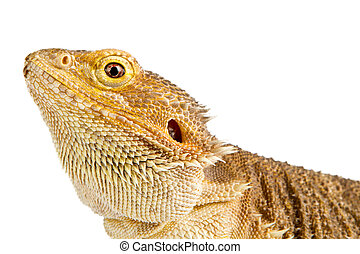 Bearded Dragon on white background. lizard isolated on white...