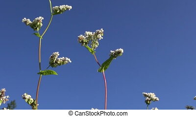 beautiful buckwheat blossoms