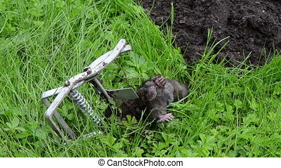 dead mole animal trap - Dead mole animal caught with steel...