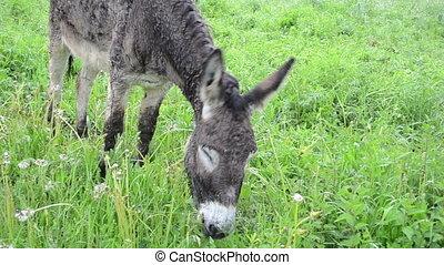 donkey graze pasture rain - Closeup of cute wet donkey...