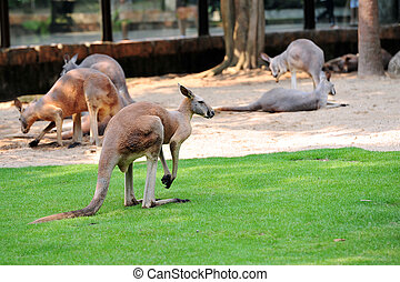 Kangaroo - The kangaroo is a marsupial from the family...
