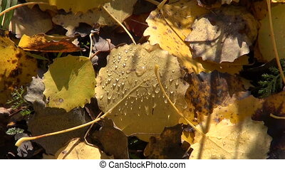 dewy aspen leaves background - autumn dewy aspen leaves...