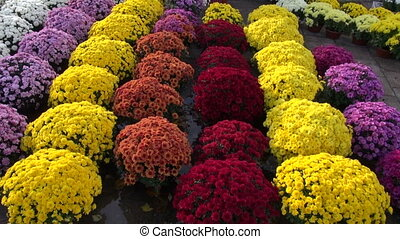colorful flowers in autumn market